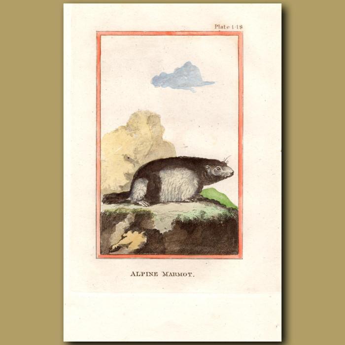 Alpine Marmot: Genuine antique print for sale.