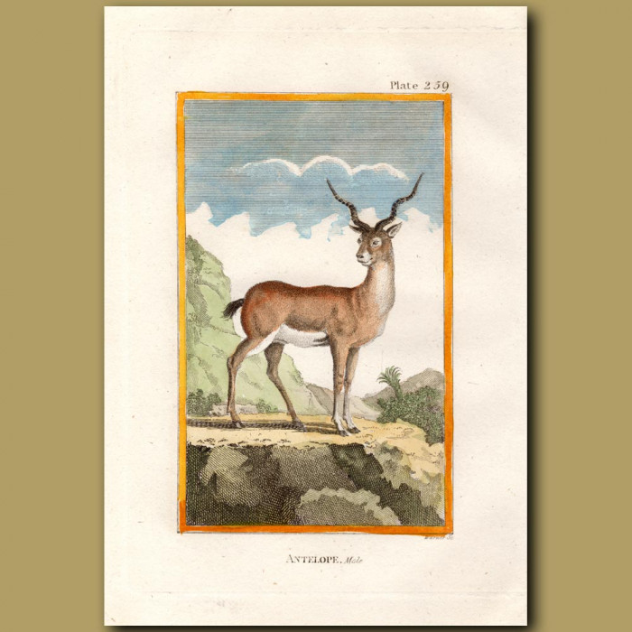 Antelope: Genuine antique print for sale.