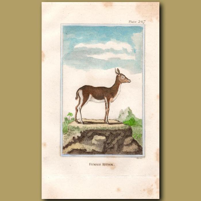 Ritbok female: Genuine antique print for sale.