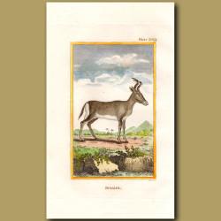 Bubalus or Bubal Hartebeest