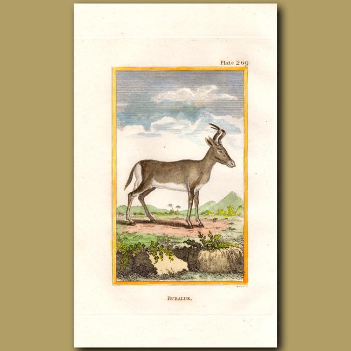 Bubalus or Bubal Hartebeest: Genuine antique print for sale.
