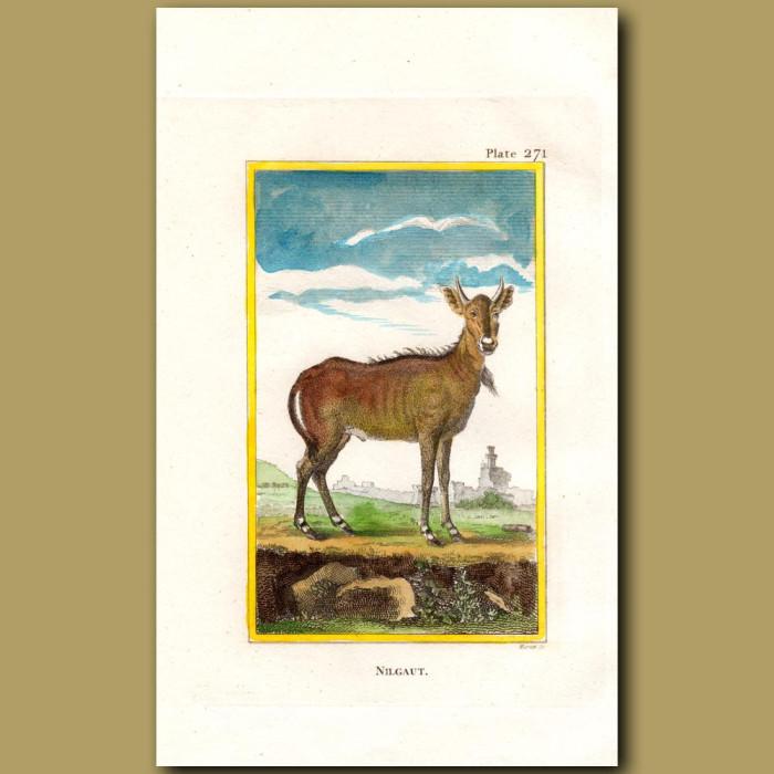 Nilghau: Genuine antique print for sale.