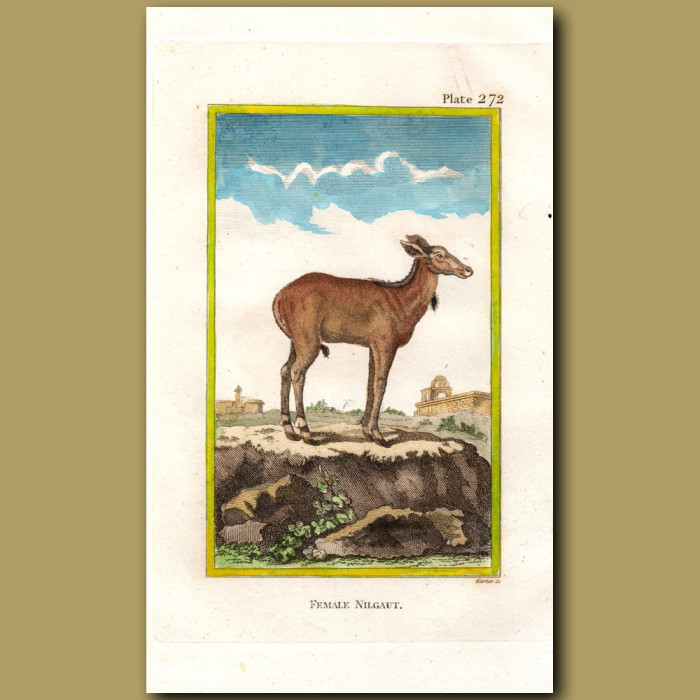 Nilghau female: Genuine antique print for sale.
