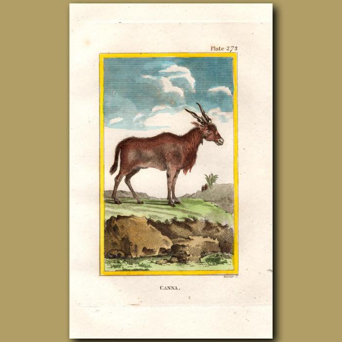 Canna or Eland: Genuine antique print for sale.