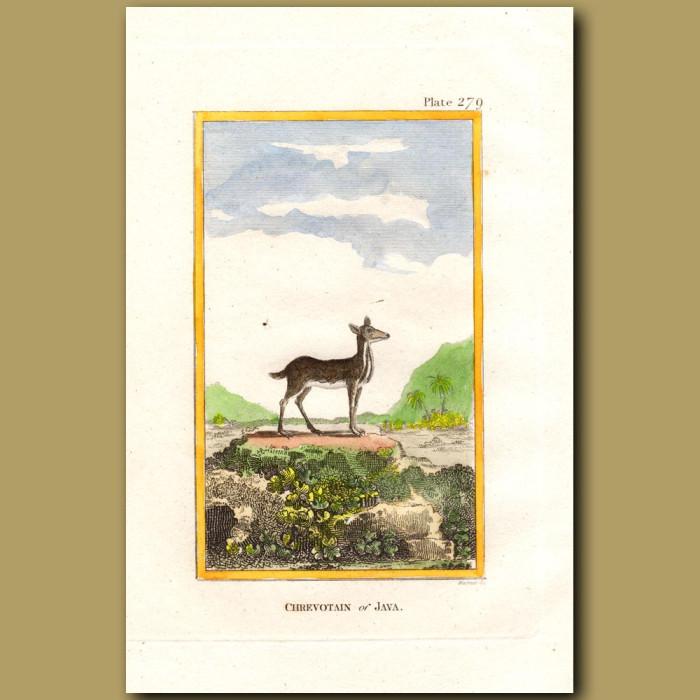Chevrotain of Java: Genuine antique print for sale.