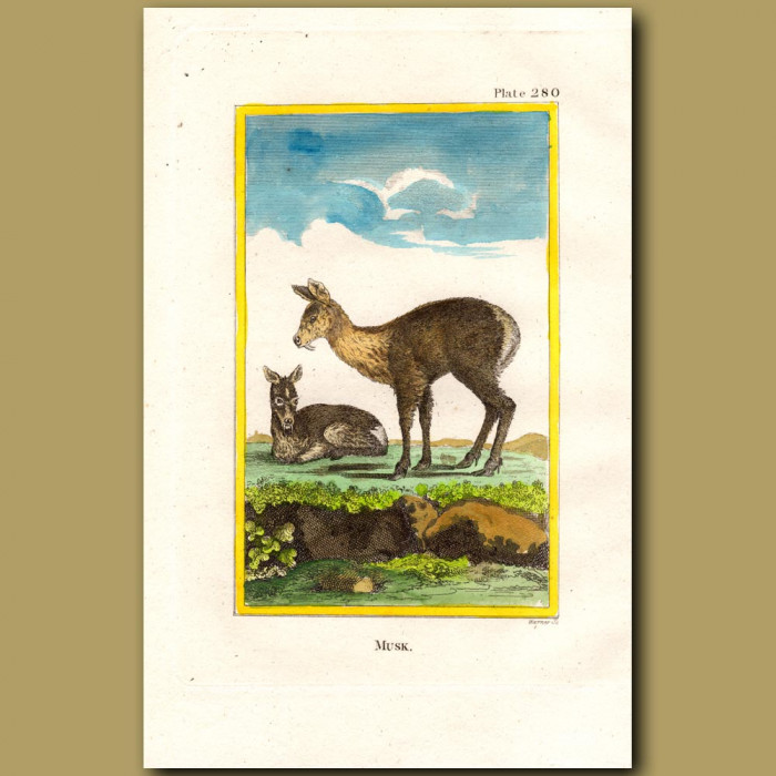 Musk: Genuine antique print for sale.