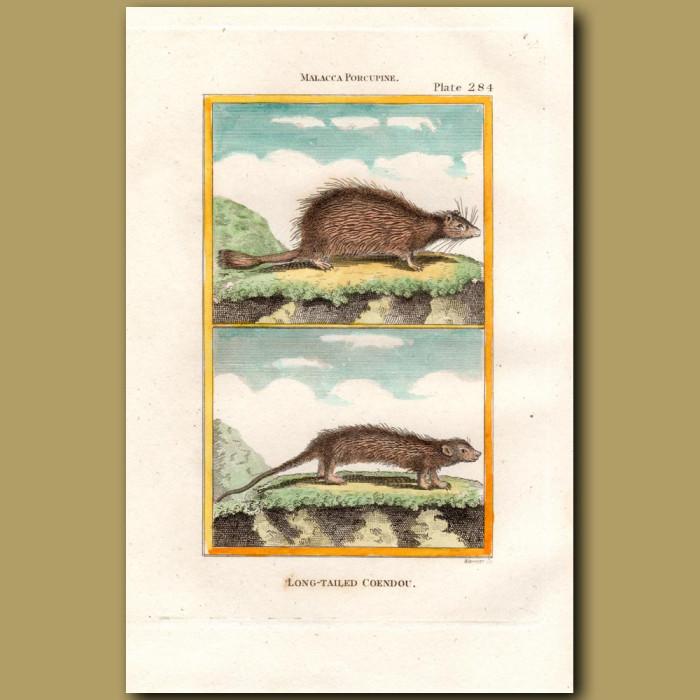 Malacca Porcupine: Genuine antique print for sale.