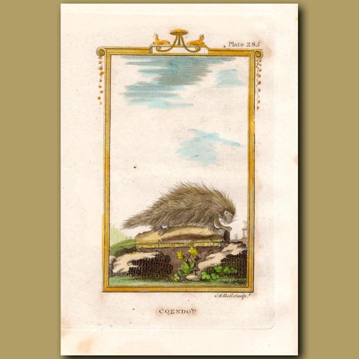 Coendon or Brazilian Porcupine: Genuine antique print for sale.