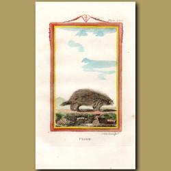Urson or Canadian Porcupine