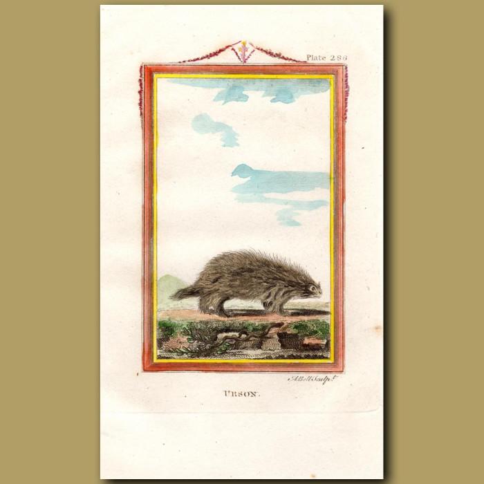 Urson or Canadian Porcupine: Genuine antique print for sale.
