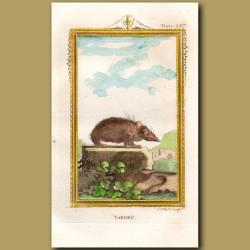 Tanrec or Asiatic Hedgehog