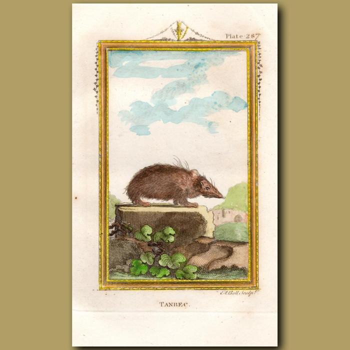 Tanrec or Asiatic Hedgehog: Genuine antique print for sale.