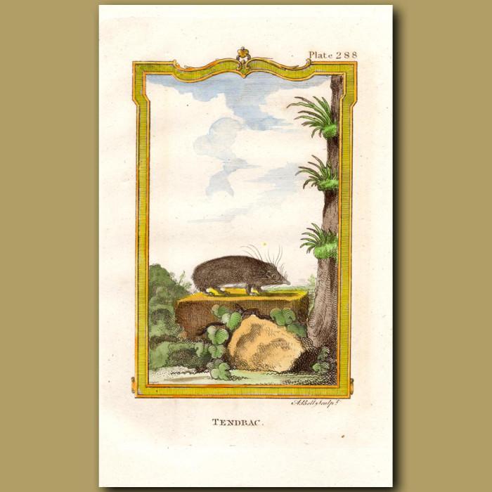 Tendrac or Asiatic Hedgehog: Genuine antique print for sale.