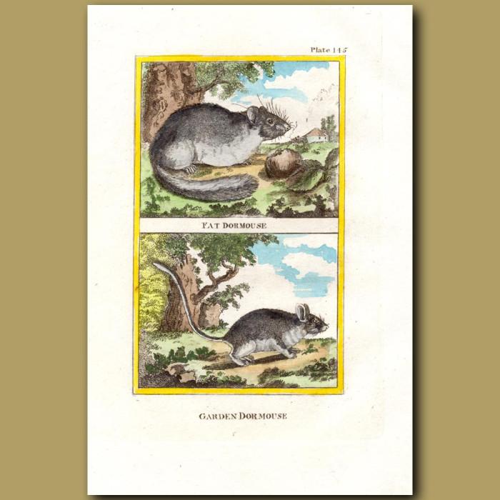 Fat Dormouse And Garden Dormouse: Genuine antique print for sale.