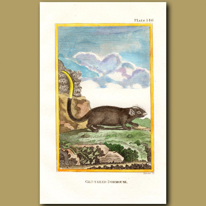 Gilt-Tailed Dormouse: Genuine antique print for sale.