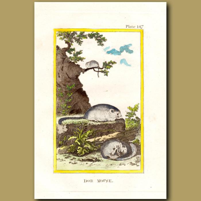 Dormouse: Genuine antique print for sale.