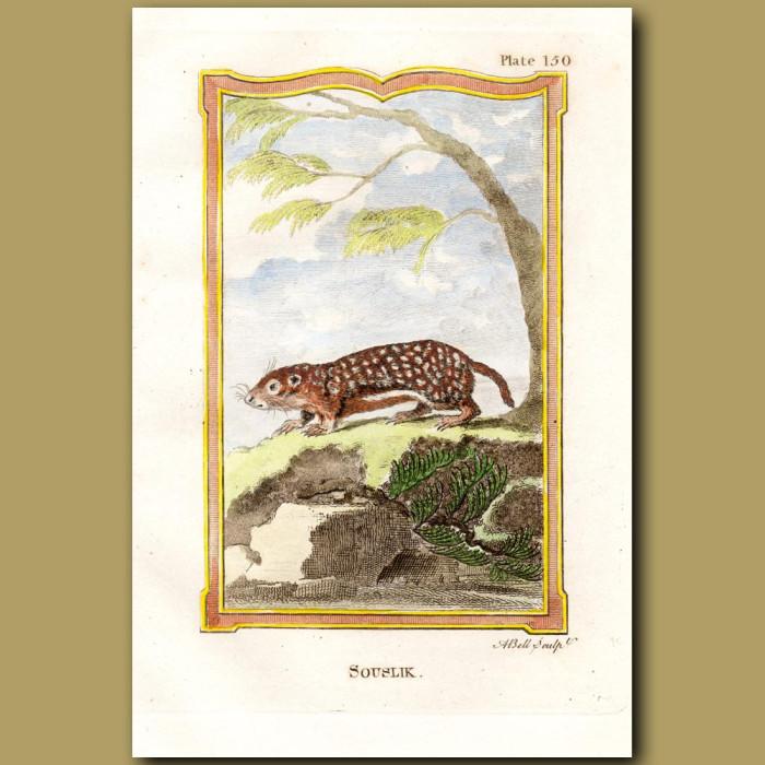 The Souslik Or Casan Marmot: Genuine antique print for sale.