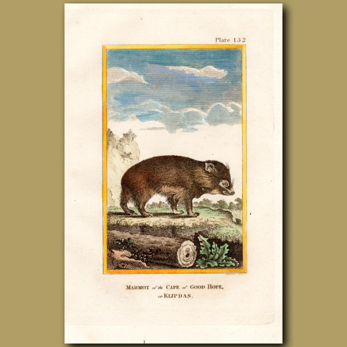 Marmot Of The Cape Of Good Hope Or Klipdas: Genuine antique print for sale.