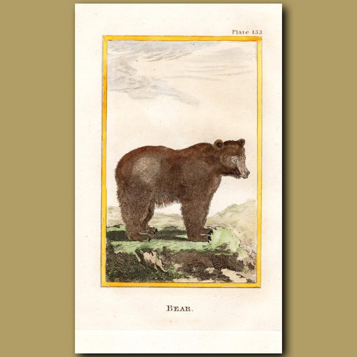 Bear: Genuine antique print for sale.