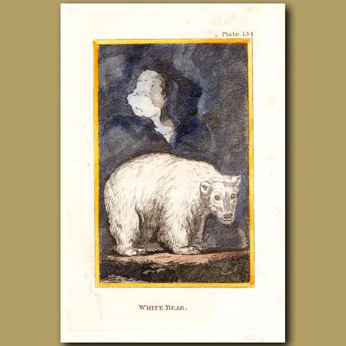 White Bear Or Polar Bear: Genuine antique print for sale.