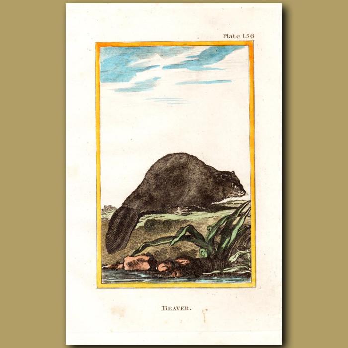 Beaver: Genuine antique print for sale.