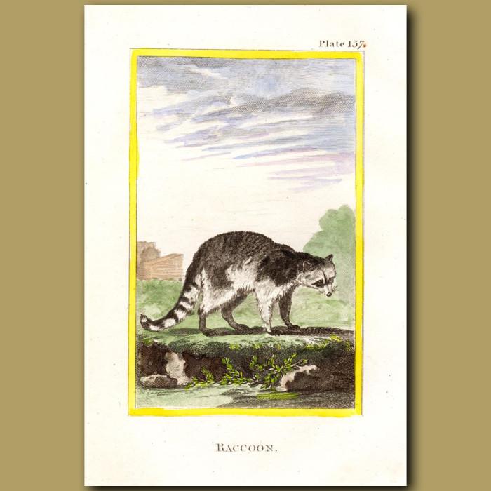 Raccoon: Genuine antique print for sale.