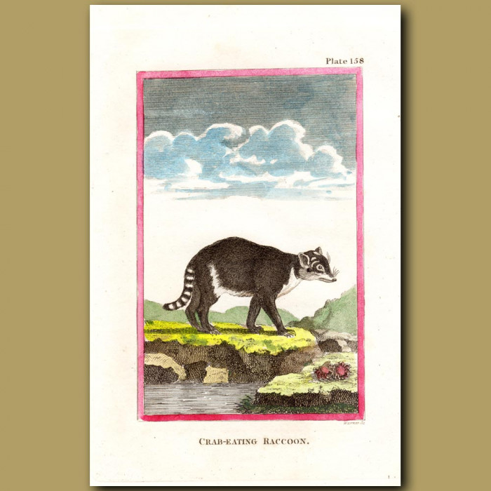 Crab-Eating Raccoon: Genuine antique print for sale.