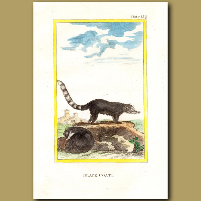 Black Coati: Genuine antique print for sale.