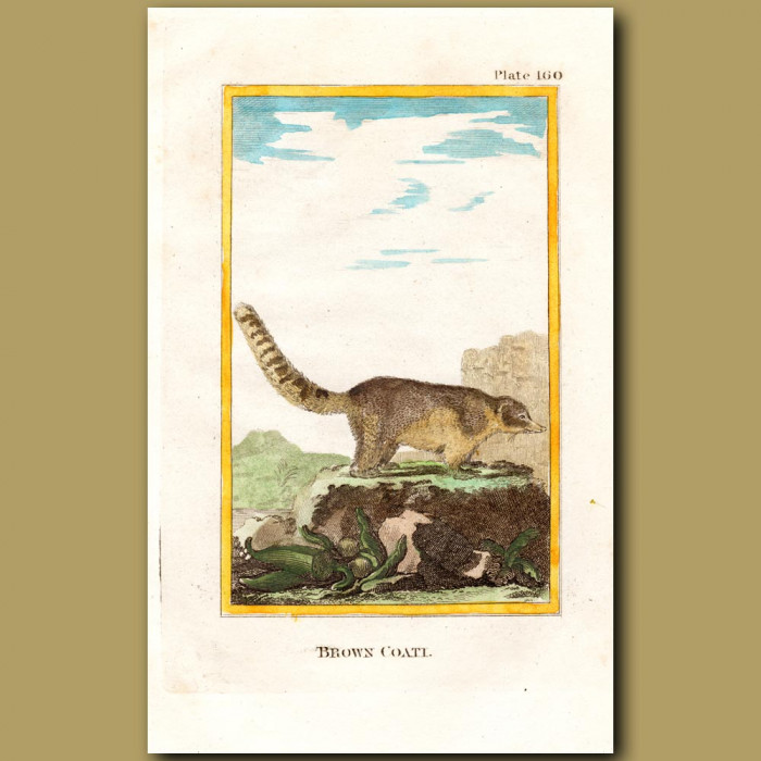Brown Coati: Genuine antique print for sale.