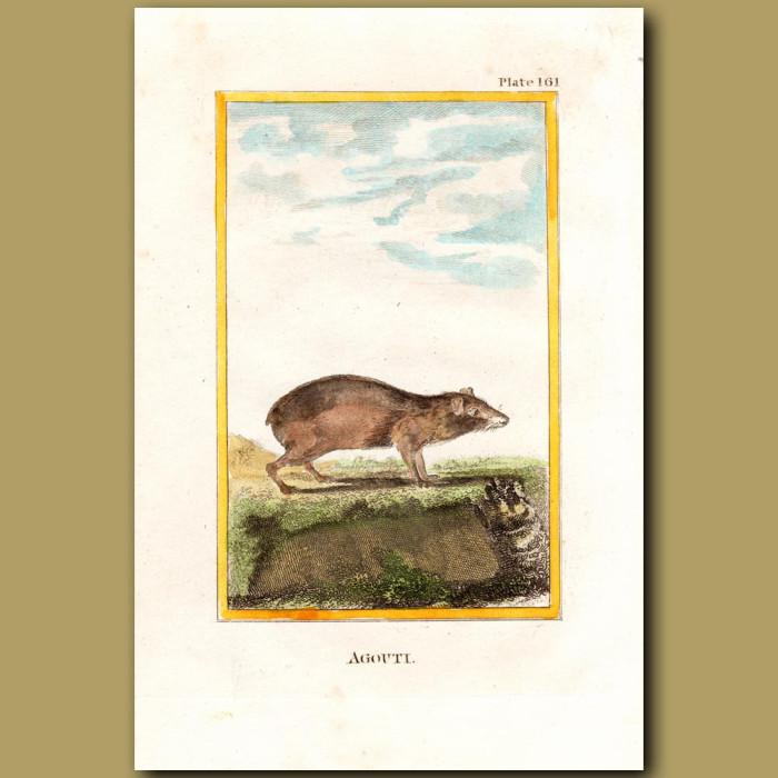 Agouti: Genuine antique print for sale.
