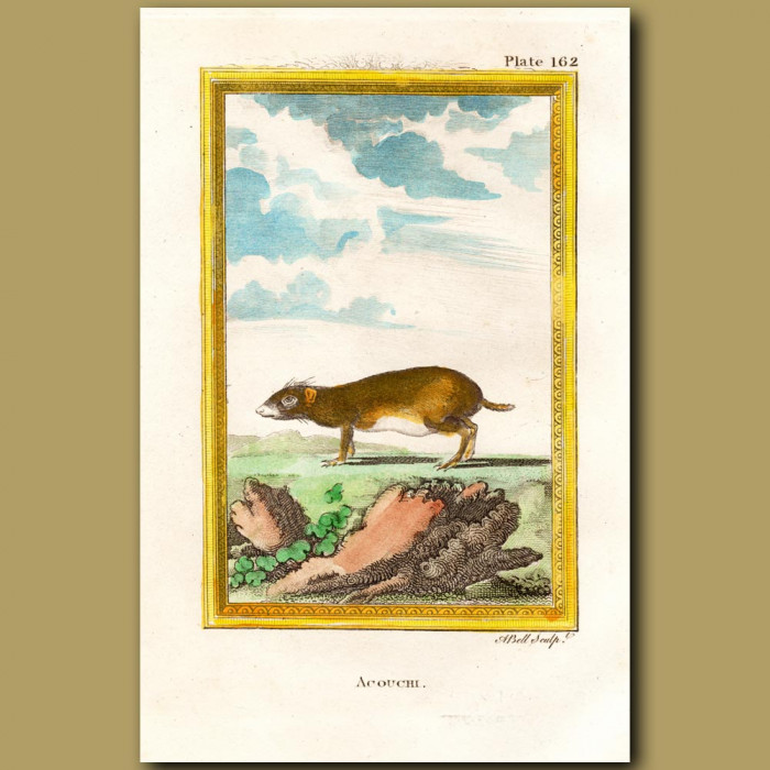 Akouchi Or Olive Cavy: Genuine antique print for sale.