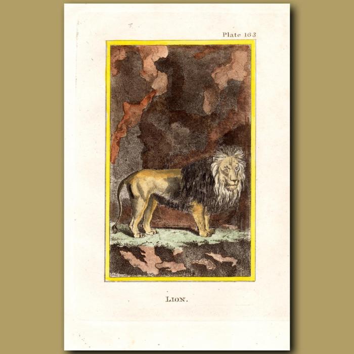 Lion: Genuine antique print for sale.