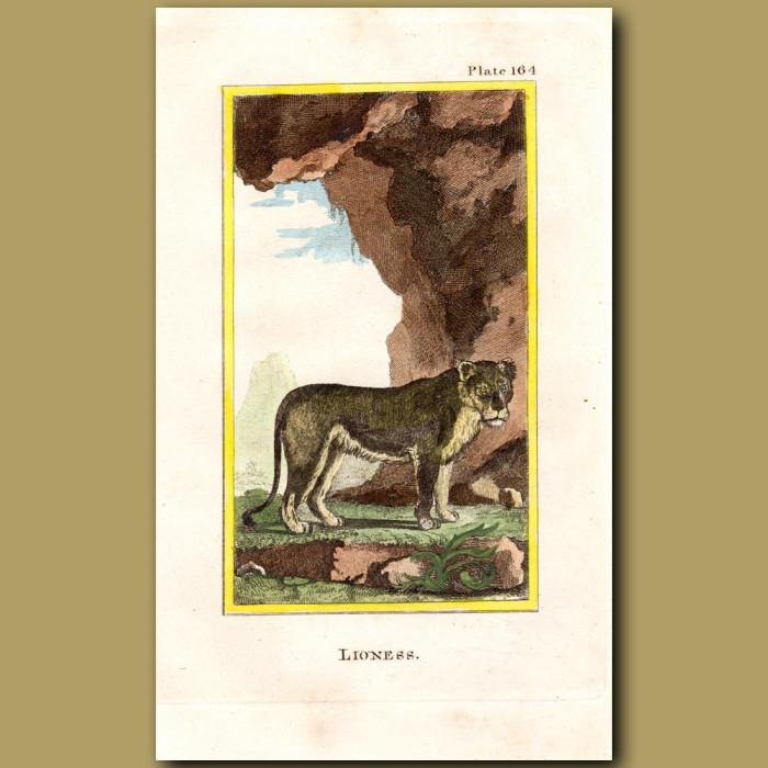 Lioness: Genuine antique print for sale.