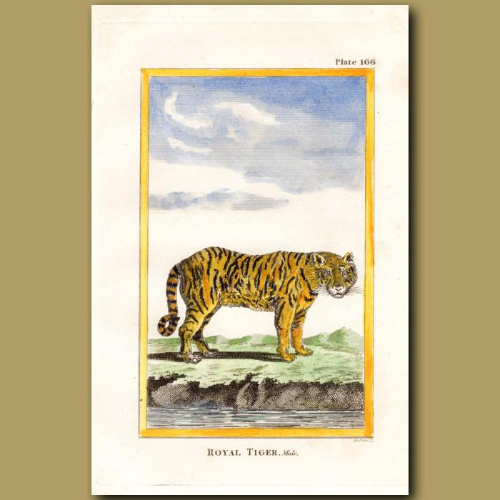 Royal Tiger: Genuine antique print for sale.