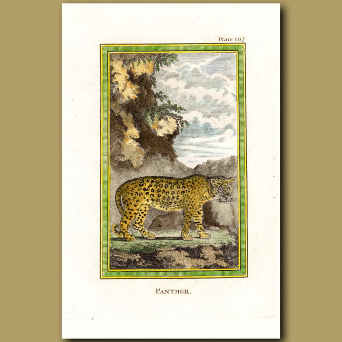 Panther: Genuine antique print for sale.