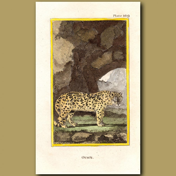 Ounce Or Snow Leopard: Genuine antique print for sale.