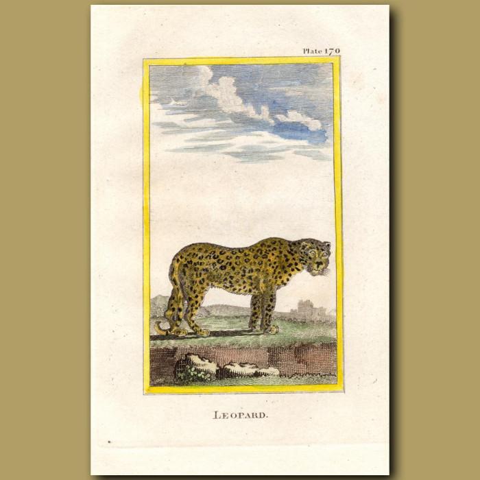 Leopard: Genuine antique print for sale.