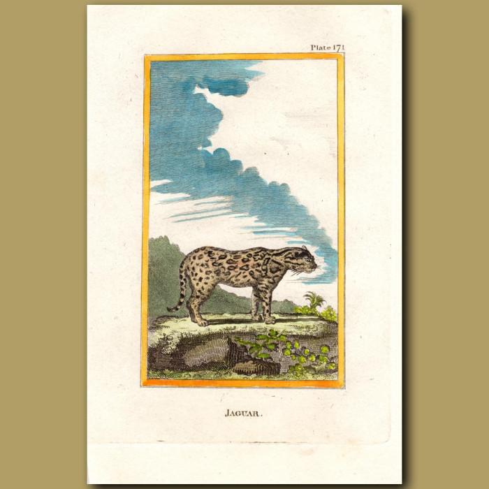 Jaguar: Genuine antique print for sale.