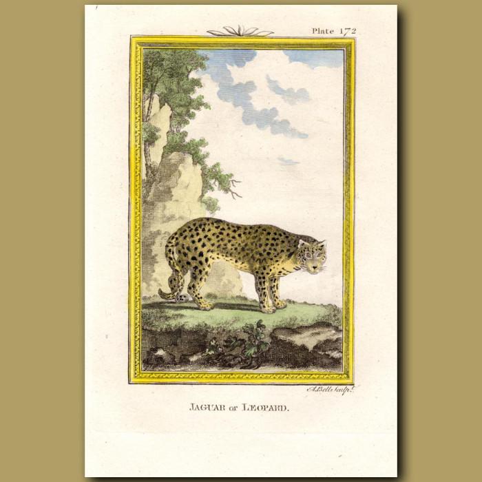 Jaguar Or Leopard: Genuine antique print for sale.