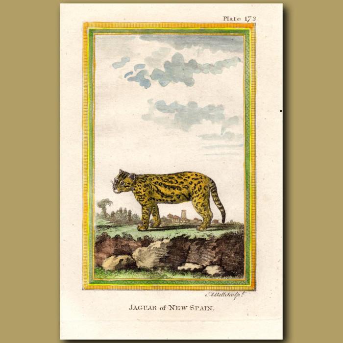 Jaguar Of New Spain: Genuine antique print for sale.