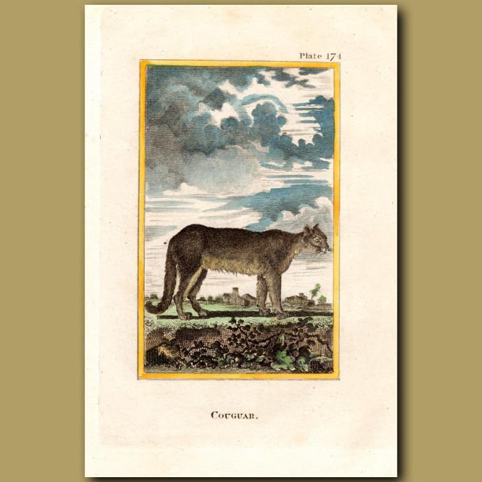 Cougar: Genuine antique print for sale.