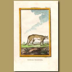 Cougar Of Pennsylvania
