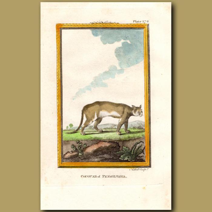 Cougar Of Pennsylvania: Genuine antique print for sale.
