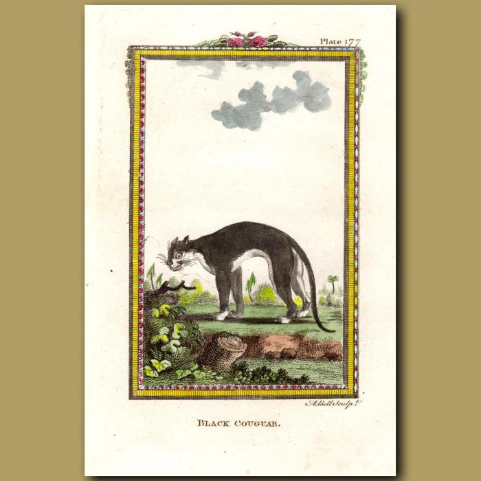 Black Cougar: Genuine antique print for sale.