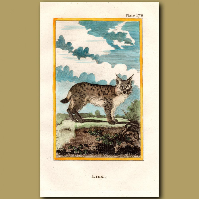 Lynx: Genuine antique print for sale.