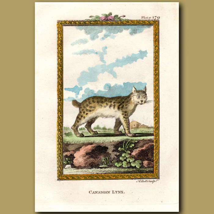 Canadian Lynx: Genuine antique print for sale.