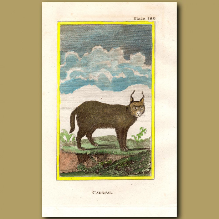 Caracal: Genuine antique print for sale.