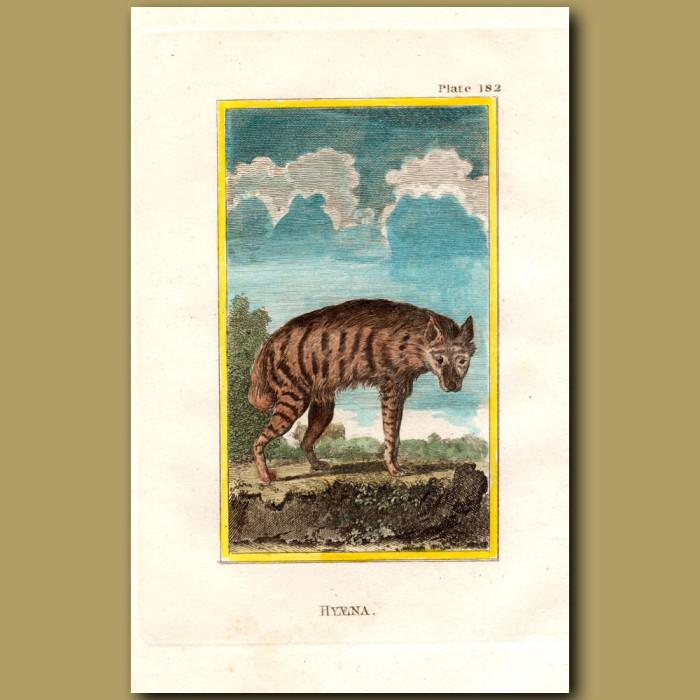 Hyaena: Genuine antique print for sale.