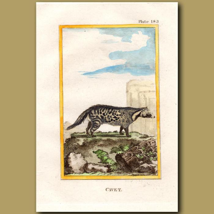 Civet: Genuine antique print for sale.