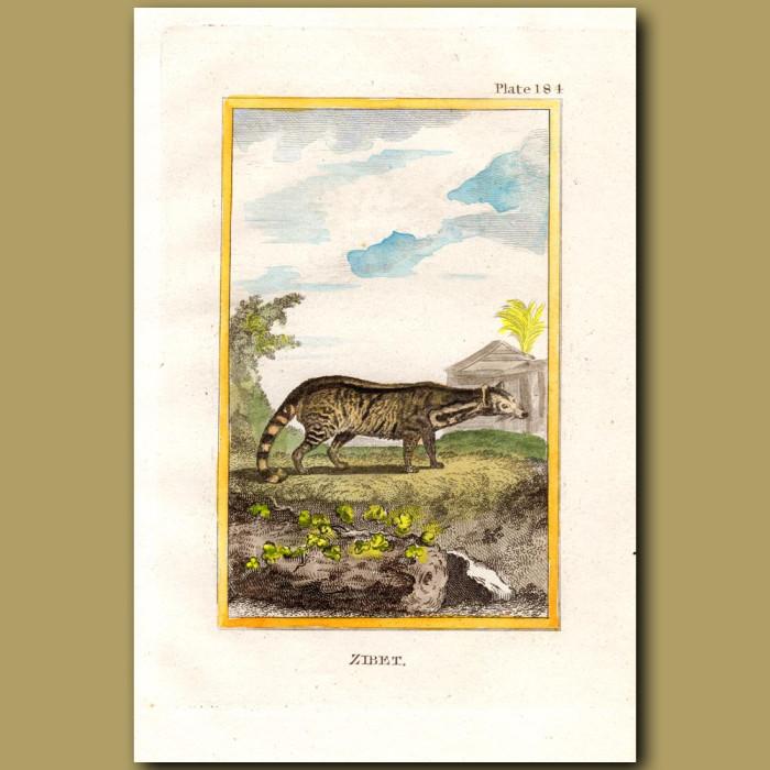 Zibet: Genuine antique print for sale.